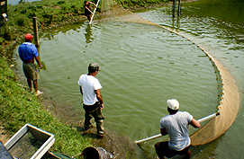 "A long, flat net called a ""seine"" is used to crowd the fish into a corner."