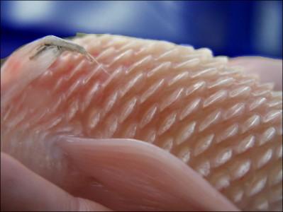 Koi goldfish health blue ridge fish hatchery for Fish scale disease