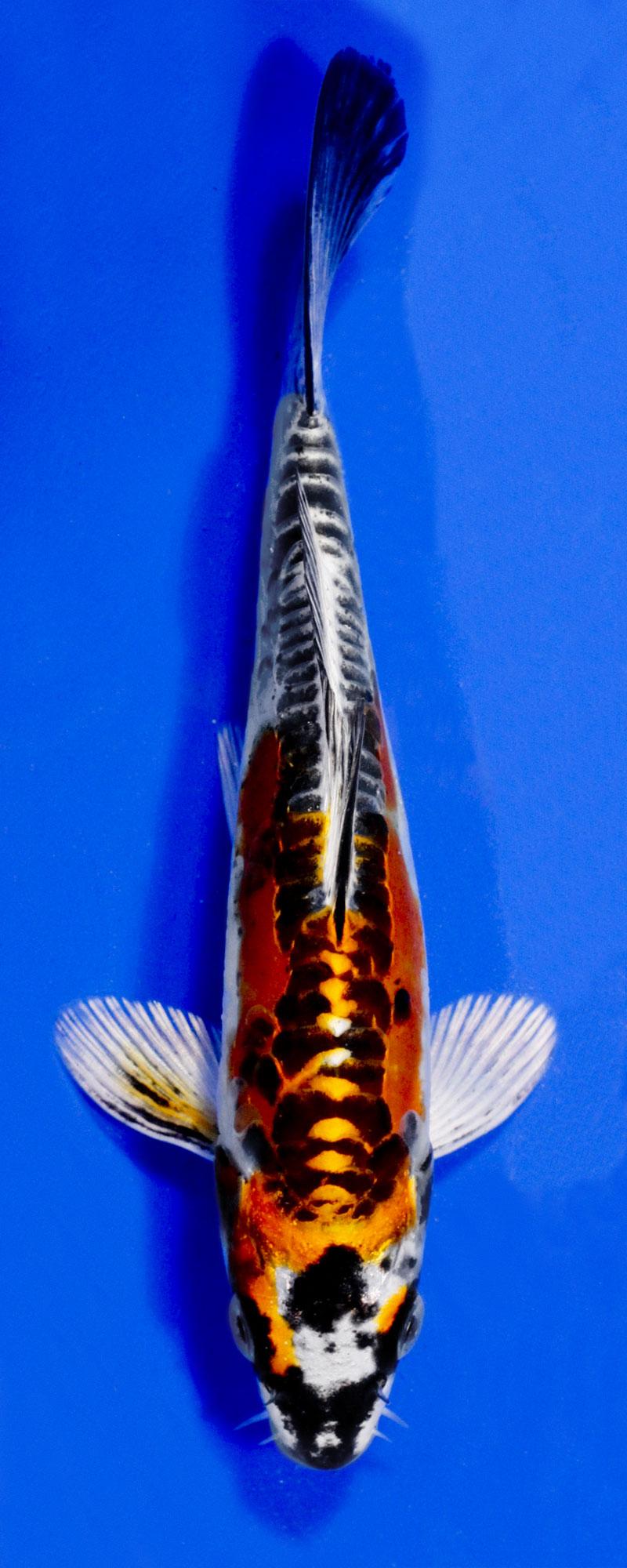 Koi variety guide blue ridge fish hatchery for Blue ridge fish hatchery