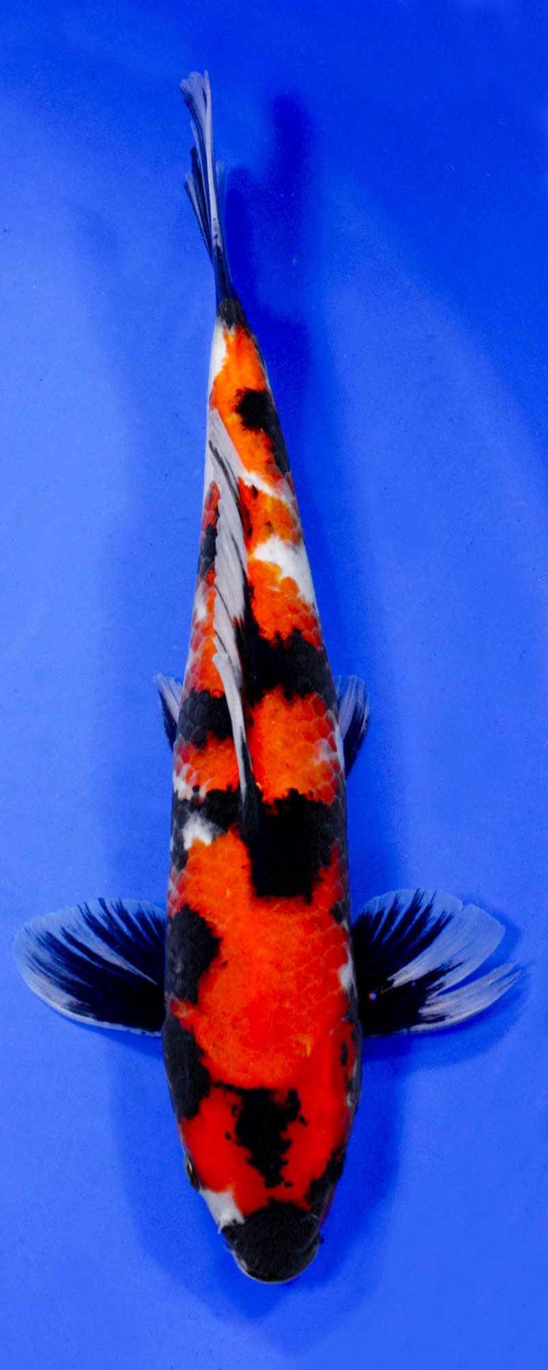 Koi variety guide blue ridge fish hatchery for Rare koi colors