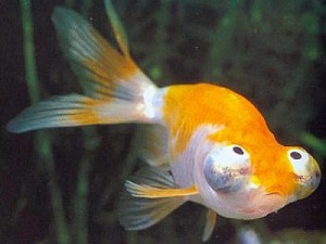 Celestial Eye Goldfish