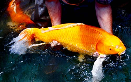 retired Orenji Ogon Butterfly Koi breeder