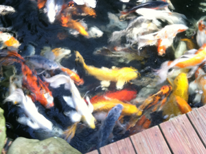 live butterfly koi swimming in a pond