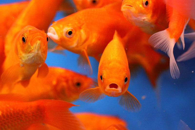 All sizes of red comet goldfish available now blue ridge for Live pond fish for sale
