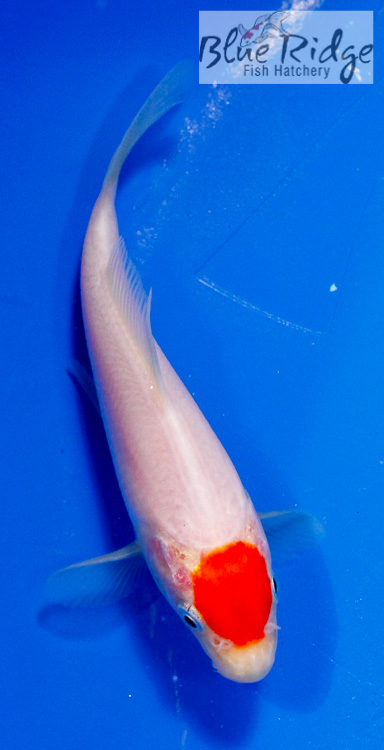 Archives for march 2013 blue ridge fish hatchery for Tancho kohaku koi for sale