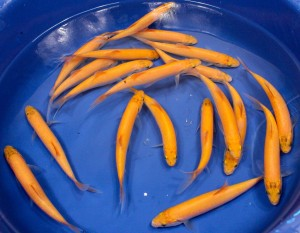 live golden orfe pond fish for sale