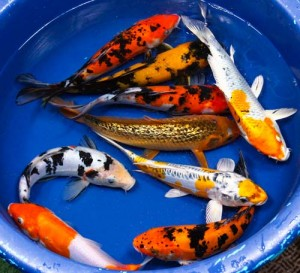 live koi fish for sale