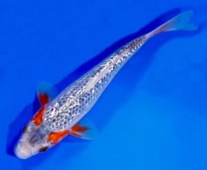 live gin rin asagi koi fish for sale
