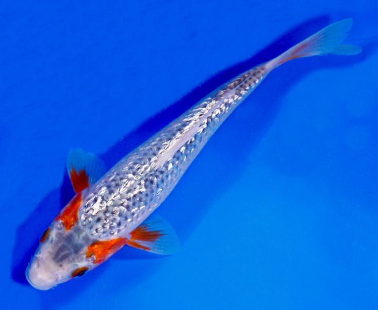 Ginrin goshiki or ginrin asagi for Live koi fish for sale