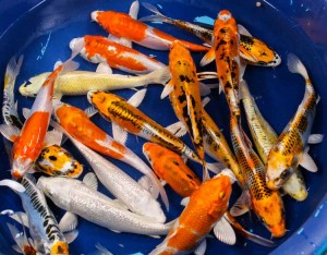 live hikari koi fish for sale