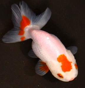 live red and white ranch goldfish