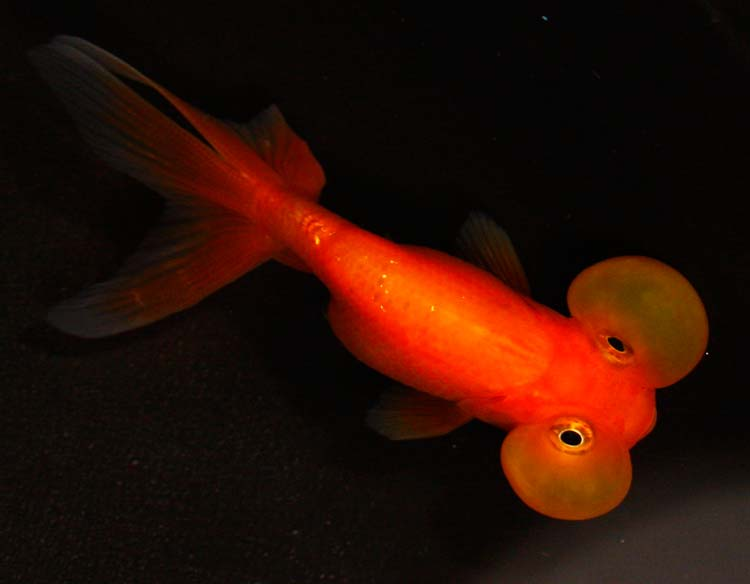 online goldfish for sale