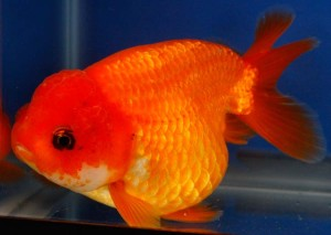 live red ranchu goldfish