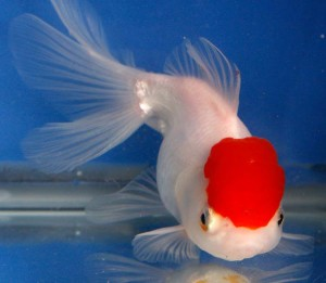 live redcap oranda goldfish for sale