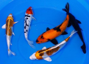 large live koi to buy