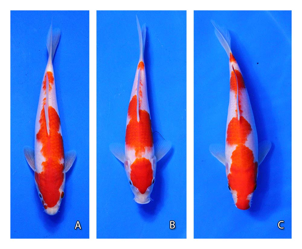 live kohaku koi against blue background for comparison