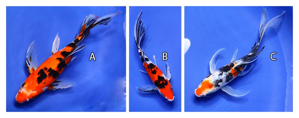 three live taisho sanke butterfly koi