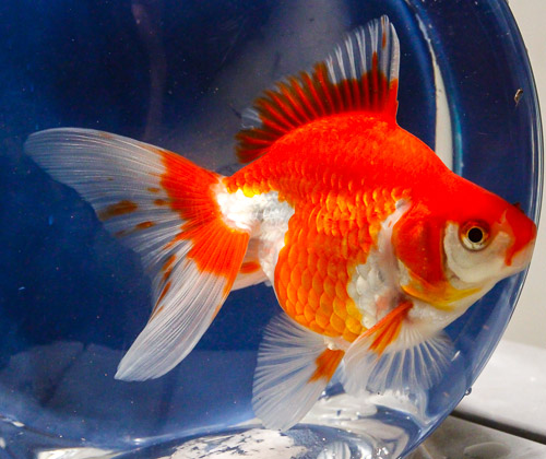 Red And White Fantail Goldfish