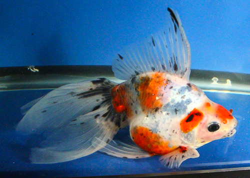 live calico ryukin gold fish